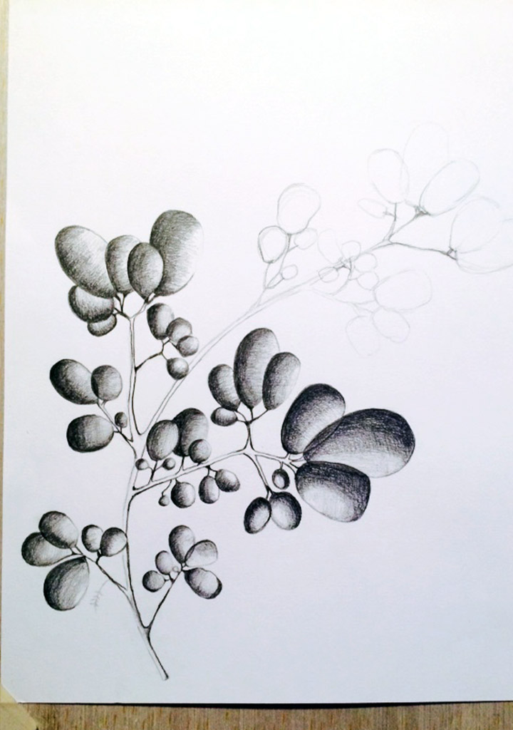 seaweed illustration - graphite